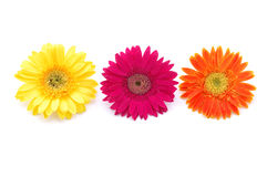 Free Colorful Gerber Daisies Royalty Free Stock Photos - 891958