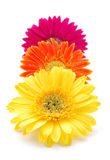Colorful gerber daisies Stock Photo