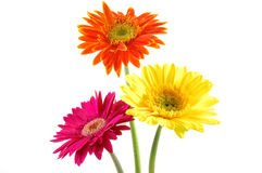 Colorful gerber daisies Stock Images