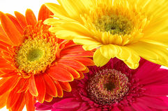 Colorful gerber daisies. Close up of three colorful gerber daisies in isolated white Stock Photos