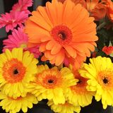 Colorful gerber daisies. Multi colored gerber daisies Royalty Free Stock Photography