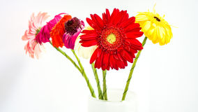 Colorful gerber daisies on white background stock photos