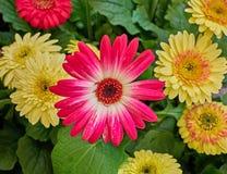 Colorful  Gerber daisy flowers closeup. In the garden Stock Photos