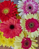 Colorful Gerber daisy flowers Royalty Free Stock Photo