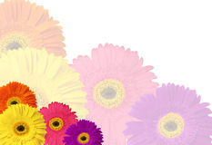 Colorful Gerber Daisy Stationary Stock Image