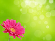 Colorful gerber flower Stock Photos