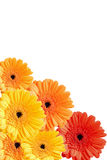 Colorful gerber flowers background isolated Stock Images