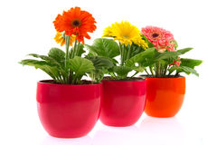 Colorful Gerber in row pots Stock Images