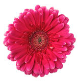 Colorful gerbera Royalty Free Stock Photo