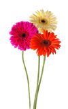 Colorful gerbera Royalty Free Stock Image