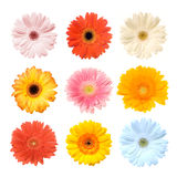 Colorful Gerbera Stock Photos