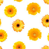Colorful Gerbera Stock Images