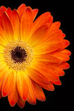 Colorful gerbera on black background royalty free stock image