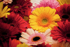 Colorful gerbera. Bouquet of colorful bright gerbera Stock Image
