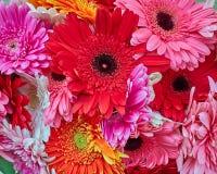 Colorful gerbera daisies closeup Royalty Free Stock Images