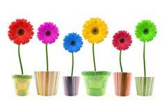 Colorful gerbera flowers. Stock Images