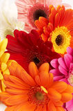 Colorful gerbera flowers Stock Photo