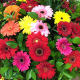 Colorful gerbera flowers Royalty Free Stock Photo