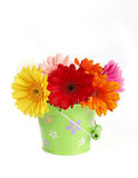 Colorful gerbera flowers in  bucket Stock Photos