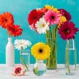 Colorful gerbera flowers in a glass vases, bottles. Colorful gerbera flowers in a glass vases and bottles. Blue stone background Stock Photo