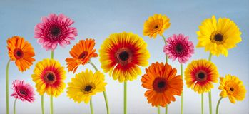 Colorful gerbera flowers isolated. Can be used as background Royalty Free Stock Photography
