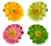 Colorful gerbera Stock Photo