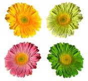 عالم الألوان colorful-gerbera-flo