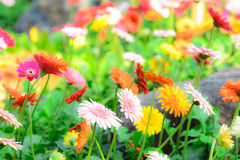 Colorful gerbera flowers on a meadow. Stock Image