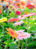 Colorful gerbera flowers on a meadow. Royalty Free Stock Image