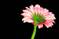 Colorful Gerbera marigold Royalty Free Stock Image
