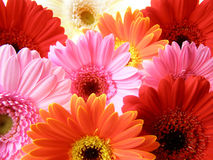 Colorful gerbera petals Royalty Free Stock Photo