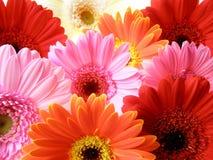 Colorful gerbera petals Royalty Free Stock Photo