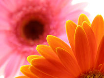 Colorful gerbera petals Royalty Free Stock Photos
