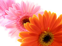 Colorful gerbera petals Stock Photo