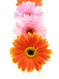 Colorful gerbera petals Stock Image
