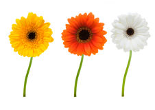 Colorful gerbera's Stock Photography