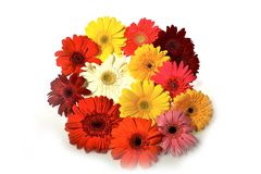 Colorful Gerberas Royalty Free Stock Photos