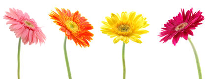 Colorful gerberas Stock Photos