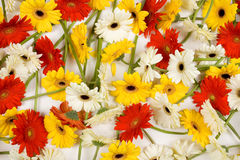 Colorful gerberas background Royalty Free Stock Photography