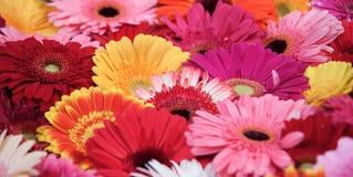 Colorful gerberas Stock Image