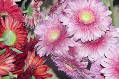 Colorful gerberas Royalty Free Stock Images