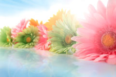 Colorful gerberas with sun spots Stock Photos