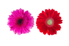 Colorful gerbers flowers isolated Stock Image
