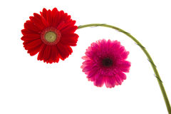 Colorful gerbers flowers isolated Stock Photos