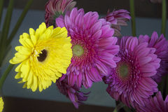 Colorful gerbers. Purple and yellow gerbers close up in the sunshine Royalty Free Stock Images
