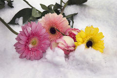 Colorful gerbers. With the roses close up on the snow Royalty Free Stock Photos