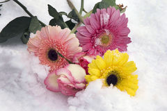 Colorful gerbers. With the roses close up on the snow Royalty Free Stock Images