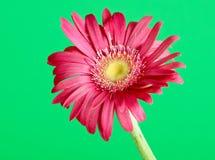 Colorful germini flower Stock Photos