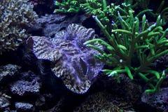 Colorful giant sea clam closeup Royalty Free Stock Photo