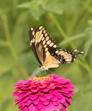Colorful Giant Swallowtail on a dark pink Zinnia Stock Photo